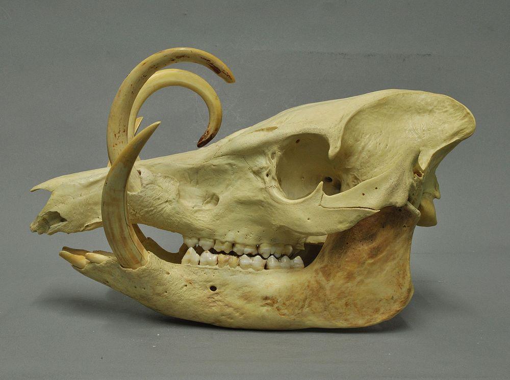 A Buru babirusa gets as old as 24 years