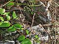 Bahamian Brown Racer (Alsophis vudii) (6161750316).jpg