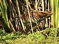 Baillon's Crake Porzana pusilla by Dr. Raju Kasambe DSCN3079 (34).jpg