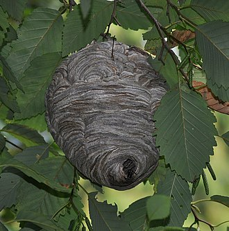 Bald-faced hornet - Image: Bald faced hornet (Dolichovespula maculata) nest