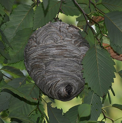 Bald-faced hornet (Dolichovespula maculata) nest