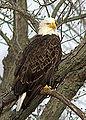 Bald Eagle (8505892736).jpg