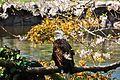 Bald Eagle in SF Zoo.JPG