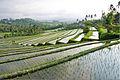 Bali rice terraces.jpg