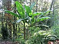 Banana tree in a plain forest in Ascarat.jpg