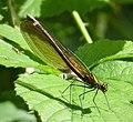 Banded Demoiselle. Calopteryx splendens. female (45964992182).jpg