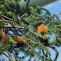 Banksia ericifolia-IMG 0341.jpg