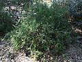 Banksia laricina.jpg
