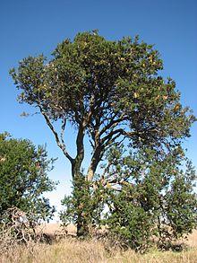 Дерево на пастбищах
