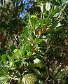 Banksia sessilis var. cygnorum-9.jpg