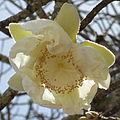 Baobab flower (8153284570).jpg