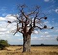 Baobabs in Tanzania 0582 Nevit, Bubalornis-Nester.jpg