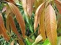 Baramati, Maharashtra, India. 29 Mango leaves.jpg