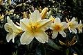 Barbara Jury ( rhododendron.- (14240671432).jpg