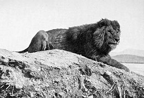 A Barbary lion photographed in Algeria in 1893 by Alfred Edward Pease.[1]
