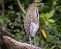 Bare-throated Tiger-Heron (Juvenile) (46600808561).jpg
