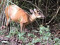 Barking deer female chewing a Careya arborea fruit AJTJohnsingh.jpg