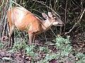 Barking deer female chewing a Careya arborea fruit AJTJohnsingh.jpg