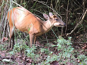 Indian muntjac - Barking deer female chewing a Careya arborea fruit, India