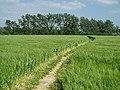 Barley field near Dedham - geograph.org.uk - 192079.jpg