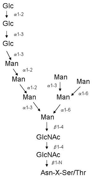 Conalbumin - Basic N-glycan