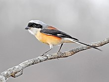 Bay-backed shrike (Lanius vittatus) Photograph by Shantanu Kuveskar.jpg