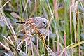 Bay-winged Cowbird (Agelaioides badius) (28945490741).jpg