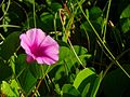 Beach Morning Glory - Lori Wilson Park, Cocoa Beach FL - Flickr - Rusty Clark.jpg
