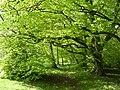 Beacon Hill beeches - geograph.org.uk - 24109.jpg