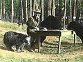 Bear dinner 1922.jpg