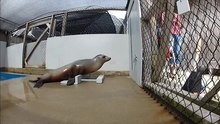 File:Beat-Keeping-in-a-Sea-Lion-As-Coupled-Oscillation-Implications-for-Comparative-Understanding-of-Video1.ogv