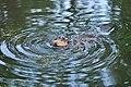 Beaver at Meadowbrook Pond, Seattle 19.jpg
