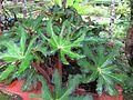 Begonia Heracleifolia.jpg