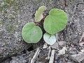 Begonia floccifera-1-mundanthurai-tirunelveli-India.jpg