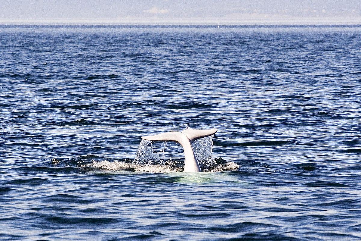 Bien connu Parc marin du Saguenay–Saint-Laurent — Wikipédia HK03