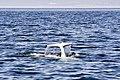 Beluga Whale Tadoussac Quebec Canada Luca Galuzzi 2005.jpg