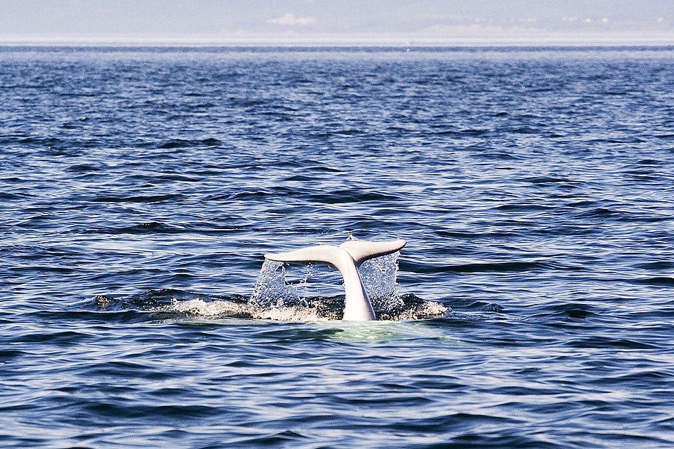 Beluga Whale Tadoussac Quebec Canada Luca Galuzzi 2005