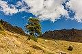 Bergtocht van Gimillan (1805m.) naar Colle Tsa Sètse in Cogne Valley (Italië). Europese lariks (Larix decidua) langs het bergpad 01.jpg