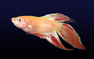 A pale cambodian male Betta (Betta splendens) ...