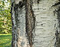 Betula pendula (2).JPG