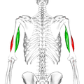Biceps brachii muscle10.png