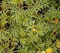 Bidens ferulifolia 01 ies.jpg