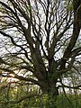 Big beech tree in the evening sun - May 2012 - panoramio.jpg