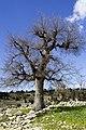 Bir ağaç gibi tek ve hür - panoramio.jpg