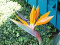 Bird-of paradise-flower-close-up.jpg