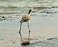 BirdBeachTecolutla01.JPG