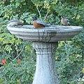 Bird Bath Waxwings and Robin (16223399555).jpg