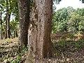 Bischofia javanica (8880942457).jpg