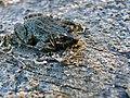 Black-backed Thin-toed Frog (Leptodactylus melanonotus) (8390213108).jpg