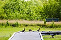 Black-bellied whistling duck (47690183032).jpg